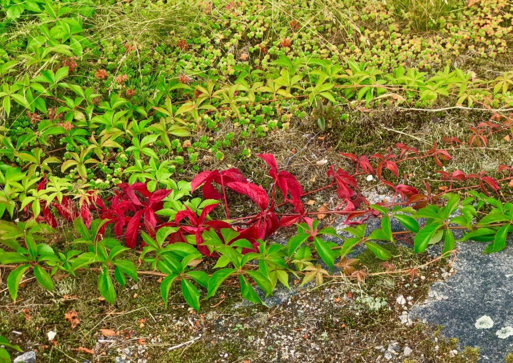 Bilde av løvranker på bakken, der den ene er rød. Det er en av de små tingene i hverdagen som vi kan glede oss over.