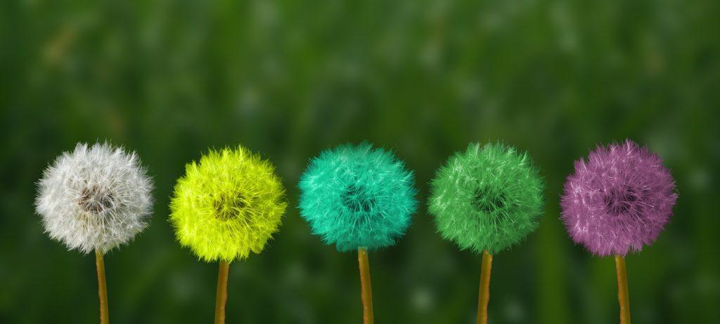 Bilde av avblomstret løvetann, dvs. der bare frø-knollen sitter igjen. Det er 5 stykker, hvorav den første har vanlig farge, og de andre er farget i henholdsvis gult, turkis, grønt og lilla.